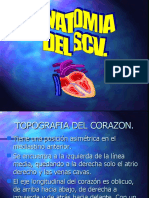 Anatomia SCV.