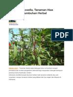 Mengenal Rosella, Tanaman Hias Sekaligus Tumbuhan Herbal