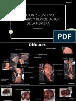 REGION 2 – SISTEMA URINARIO Y REPRODUCTOR DE LA HEMBRA