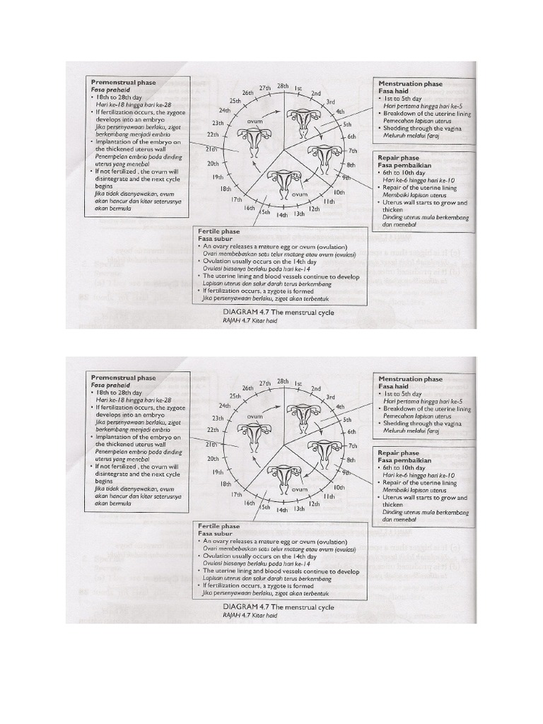 Menstrual cycle ccuart Images