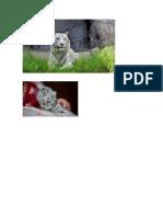 El Trigre Blanco Iven en Selvas o Montallas Pueden Tener Mas De7 Bebes Son Bunos Nadadores y Se Alimentan de Carne Es de Color Crema Blanca