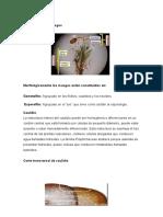 Anatomía de los musgos