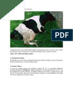 Hipocalcemia en vacas lecheras 2