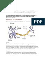 Significado de Neurona