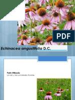Echinacea angustifolia-2019