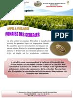 Punaise Des Céréales