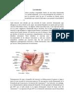 Los testículos (1)