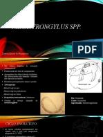 Metastrongylus spp