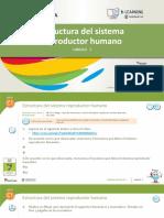 Naturales Tema 5 Estructura_del_sistema_reproductor_humano