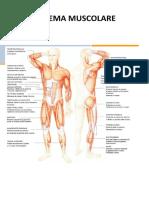Il_Sistema_muscolare.docx (1)