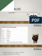 bufalos.