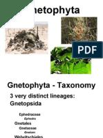Gnetophyta