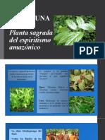 Chacruna y Amasisa- Elida Principe Gomez