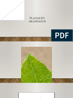 Cultivo de Arandano 1