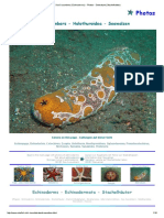 Sea Cucumbers (Echinoderms) - Photos - Seewalzen (Stachelhäuter)