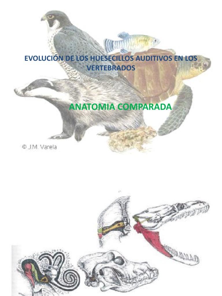 evolución de los huesecillos auditivos en los vertebrados