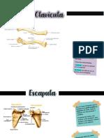 Clavicula, escapula y femur
