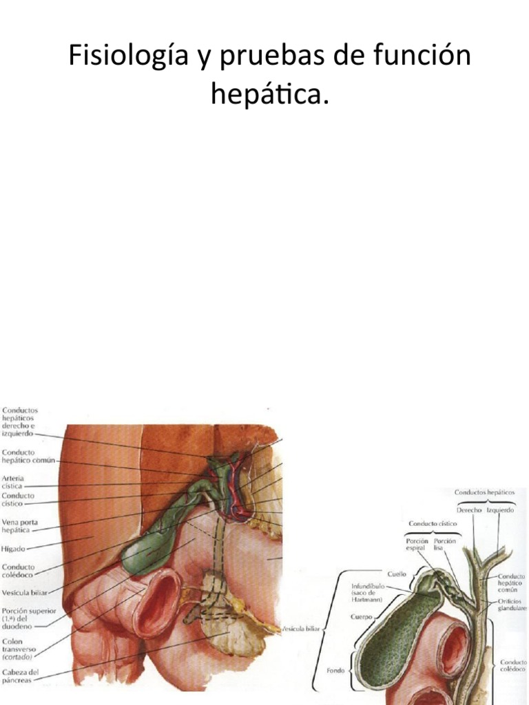 Clase 13 MESQ Fisiología y pruebas de función hepática
