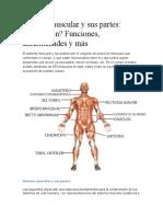 Sistema muscular y sus partes