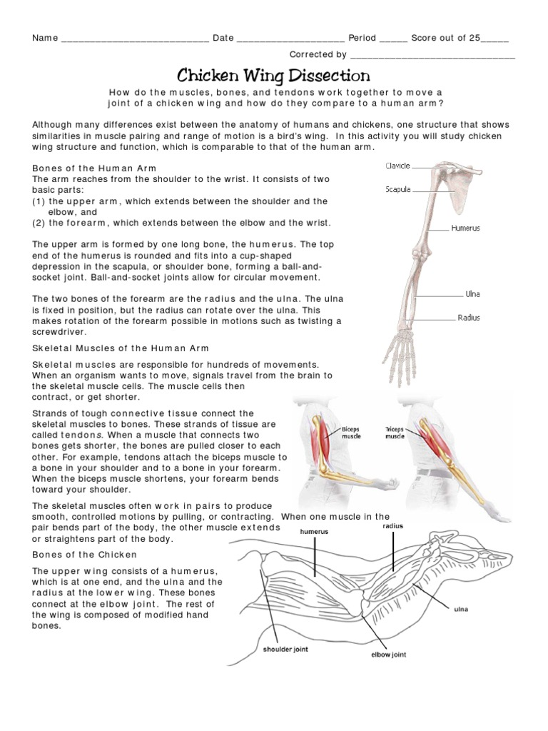Unique Bird Wing Anatomy Adornment - Human Anatomy Images ...