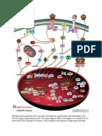 Estrogens receptor pathway