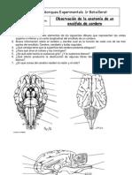 P19a - Disección encéfalo