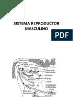 SISTEMA REPRODUCTOR MASCULINO (2)