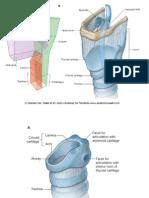 15 Larynx