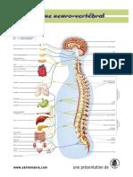 systeme_neuro-vertebral