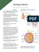 Histologia básic sistema reprodutor masculino