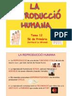 Tema 12 La reproducció humana