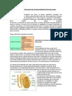 ANATOMIA Y FISIOLOGIA DEL SISTEMA REPRODUCTOR MASCULINO