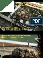 杜斑鳩育雛(2)