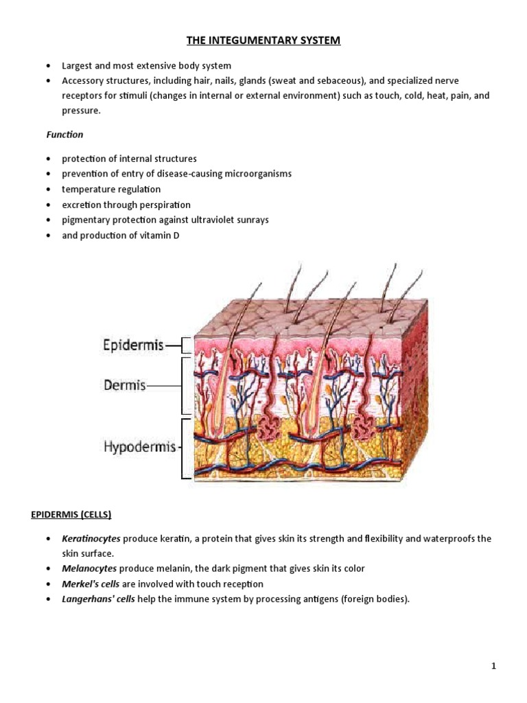 The Integumentary System Skin Epidermis