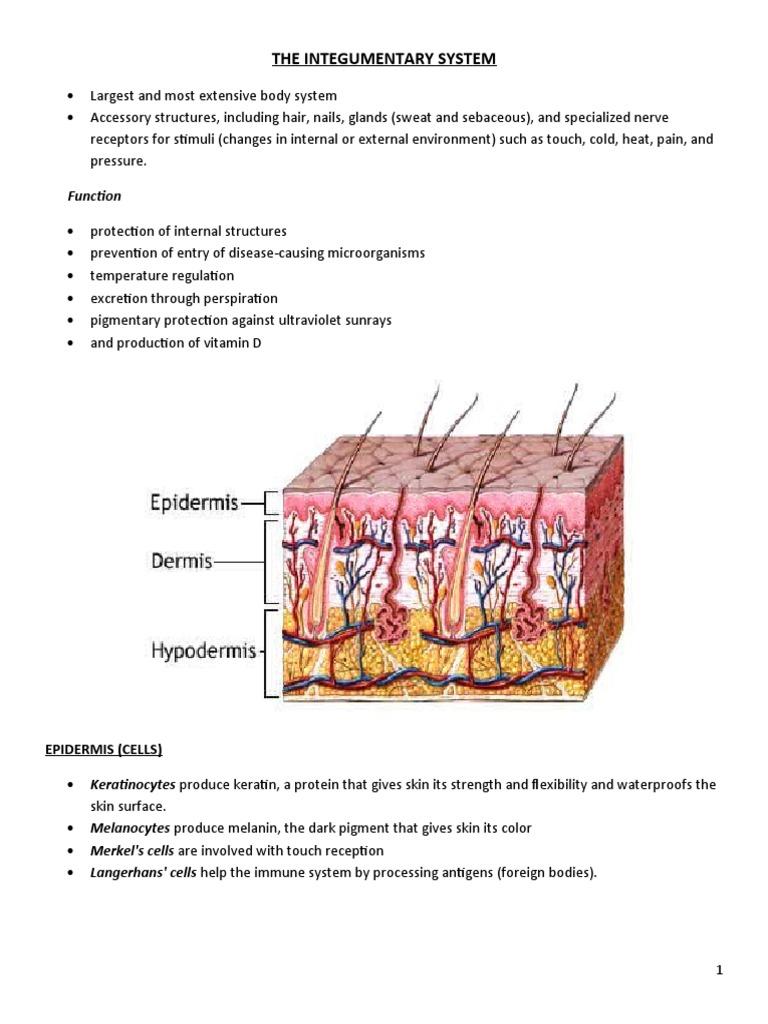 The Integumentary System Skin Epidermis