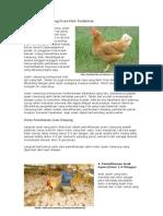 Berternak Ayam Kampung Secara Sehat