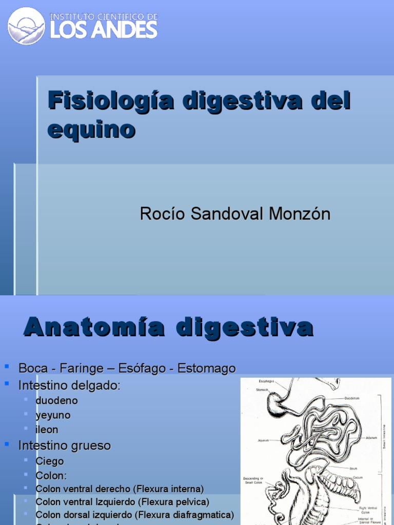 Hermosa Equinos Anatomía Y Fisiología Libros Imágenes - Imágenes de ...