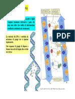 02a Lezione Botanica Generale 2009-2010 Dna SINTESI CICLI