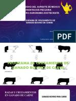 ORIENTACION PECUARIA_ABIGAIL TRINIDAD C_PROGRAMA DE CRUZAMIENTO GENETICO DE GANADO BOVINO DE CARNE_1°SEMESTRE_INGENIERO AGRONOMO ZOOTECNISTA