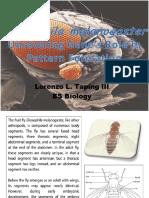 Insect Embryonic Development (Drosophila melanogaster)