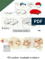 Areas Corteza Cerebral