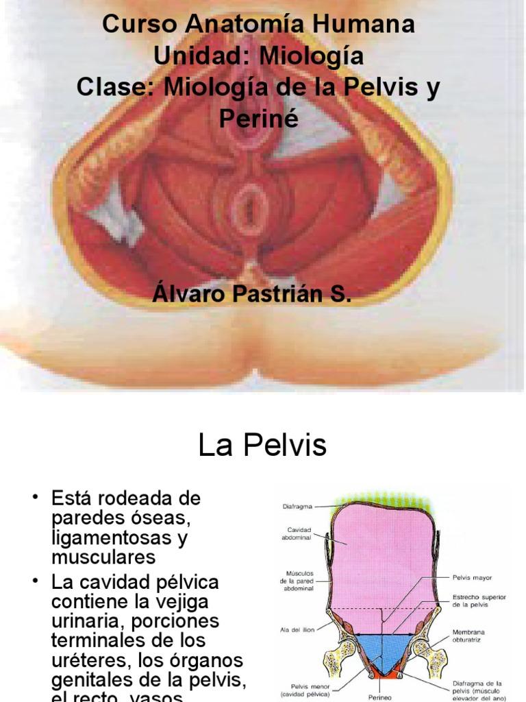 Famoso Anatomía De La Pelvis Y El Perineo Adorno - Anatomía de Las ...