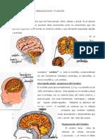 Funciones Del Cerebro