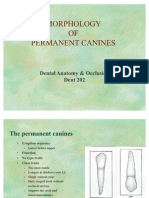 Morphology of Permanent Canines