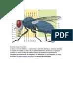 Anatomía de una mosca típica