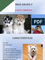 PERROS GRUPO V (Spitz y Primitivos)