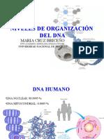 04organización del DNA