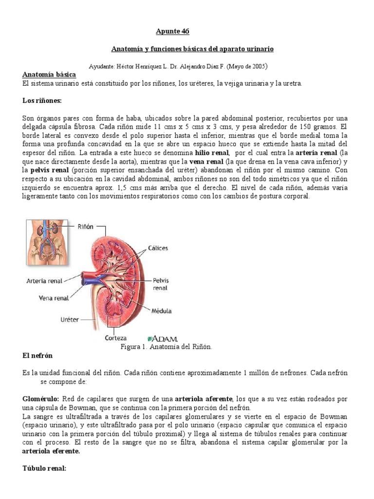 Apunte46 Anatomía y funciones básicas del aparato urinario