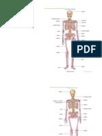 Anatomia Osea Huesos y Sus Partes