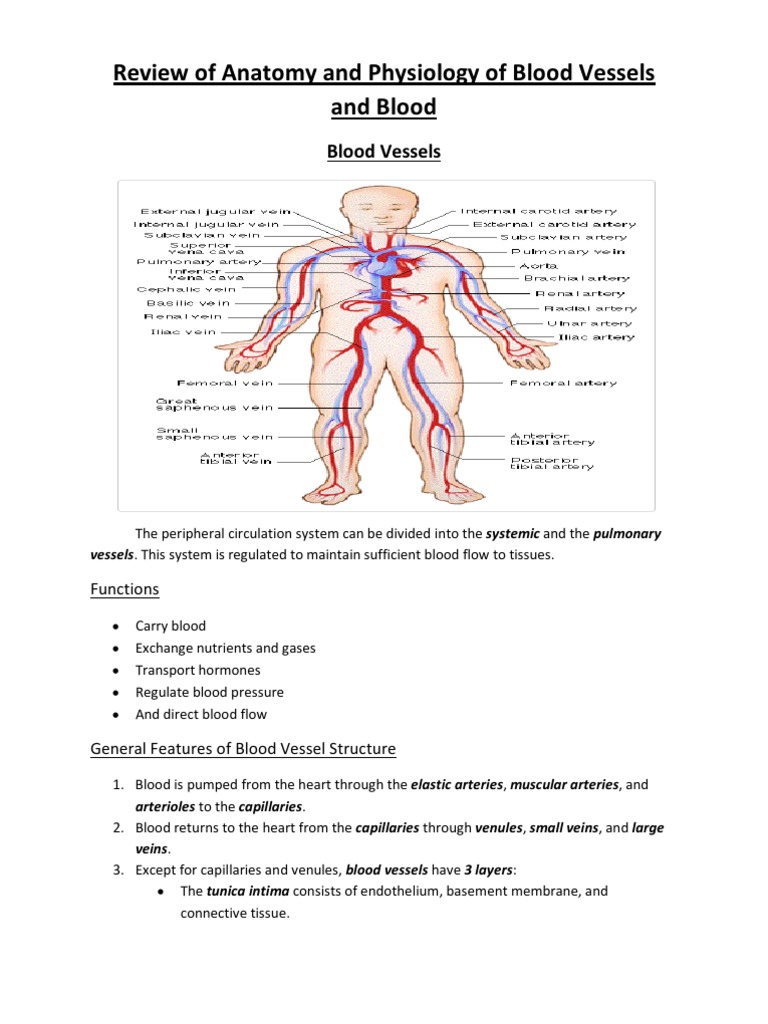 Review of Anatomy and Physiology of Blood Vessels and Blood | Aorta ...